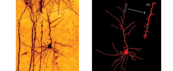 Preparación histológica de Ramón y Cajal de una neurona cortical de ratón y la reconstrucción por computadora de su imagen. Copyright 2006 por la Sociedad de Neurociencias y el Instituto Cajal