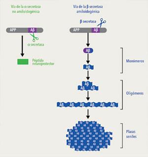 Origen de los amiloides. La proteína precursora del amiloide (APP) se encuentra en la membrana de las células y tiene algunas funciones importantes durante el desarrollo del organismo. La figura esquematiza los dos posibles cambios que experimenta la APP: el de la izquierda, en verde, que no produce péptido amiloide, y el de la derecha, en azul, que lo produce. La APP es cortada por enzimas llamadas secretasas, de las que interesan dos clases: la α y la β. Cuando la primera en cortar la APP es la α secretasa, se generan pequeños péptidos que son neuroprotectores. En cambio, cuando la APP es cortada inicialmente por la β-secretasa, aparecen los amiloides beta (Aβ) en forma de monómeros, los cuales, a medida que aumenta su concentración, se unen entre sí y forman oligómeros. Los oligómeros, a su vez, se van agregando para constituir fibras que se depositan entre las células del tejido nervioso y constituyen las placas seniles. Los oligómeros de amiloide beta son potentes toxinas que dañan primero a las sinapsis y luego a toda la neurona.