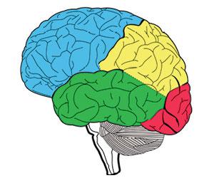 vista lateral del hemisferio izquierdo del cerebro humano. Azul: lóbulo frontal; amarillo: lóbulo parietal; verde: lóbulo temporal, rojo: lóbulo occipital; gris: cerebelo.