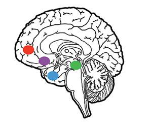 corte esquemático del cerebro humano en el que se indican los sitios del cerebro medio que son parte de los circuitos neuronales activados por la percepción, la codificación y el procesamiento de la música, y también por el sexo, las drogas y la comida. En rojo la corteza prefrontal, en violáceo el núcleo accumbens, en azul la amígdala y en verde el área tegmental ventral.