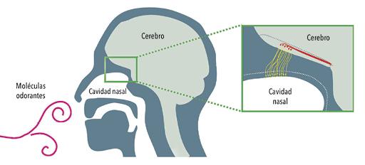 Comunicación entre neuronas del sistema olfatorio. Al oler un perfume, las moléculas de odorante entran en la cavidad nasal y actúan sobre la superficie de neuronas sensoriales (en amarillo), las cuales generan señales eléctricas y las transmiten, por sus largas prolongaciones llamadas axones, a otras neuronas que se encuentran en el cerebro (en rojo), las que, a su vez, envían la información a diversas áreas cerebrales.