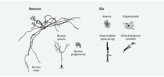Diversidad de formas que pueden adoptar las neuronas y las células gliales.