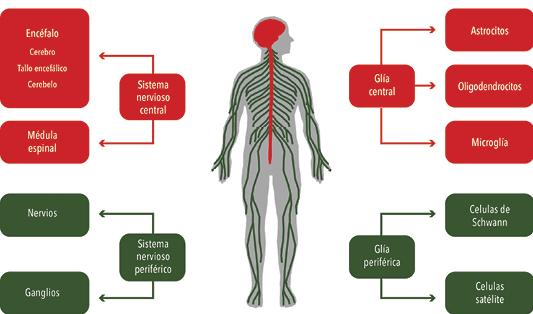 Localización de las células gliales en el sistema nervioso central o periférico.