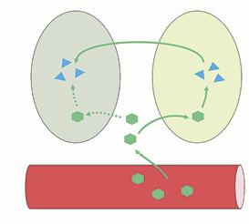 Las células gliales (óvalo derecho) proporcionan derivados de azúcares a las neuronas (óvalo izquierdo) en los momentos en que estas necesitan mucha energía por estar más activas. Las neuronas pueden tomar glucosa (verde) de los vasos sanguíneos (rojo), pero su fuente preferencial de energía es el lactato (celeste), aportado por los astrocitos, células de la glía que lo producen a partir de glucosa que a su vez toman de la circulación sanguínea.