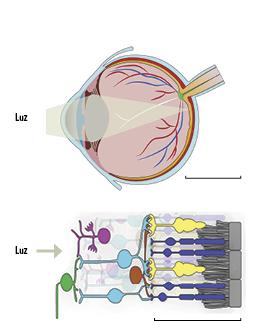 El esquema superior representa un corte vertical del ojo humano: muestra la retina (anaranjado), el epitelio pigmentario (rojo) y el nervio óptico (verde). El óvalo representa el cristalino o lente, al que llega la luz luego de atravesar la córnea (a la izquierda). La barra que da la escala mide 10 milímetros. El croquis inferior es un corte transversal enormemente ampliado de un fragmento de la retina: los rectángulos grises a la derecha indican el epitelio pigmentario, que envuelve la cara exterior de la retina; las células fotorreceptoras son los conos (amarillo) y los bastones (violeta), hacia adentro de los cuales están las células horizontales (marrón), amacrinas (fucsia) y bipolares (celeste), y en la cara interior de la retina se encuentran las células ganglionares (verde) cuyos axones forman el nervio óptico que se conecta con el cerebro. La barra que da la escala mide 10 micrómetros (es decir, 10 milésimas de milímetro).