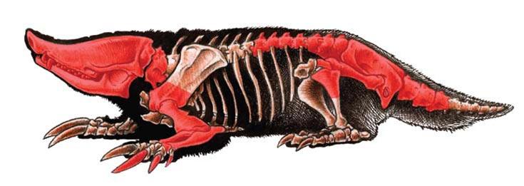 Reconstrucción hipotética del esqueleto del Necrolestes. En rojo, los huesos conocidos por habérselos encontrado fosilizados.