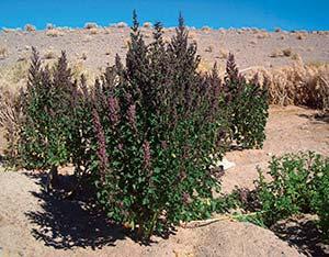 Detalle de las plantas de quinua de la fotografía anterior.