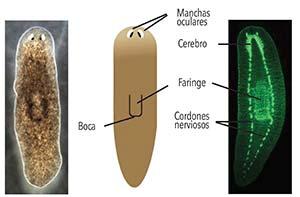 Planaria Schmidtea mediterranea. Mide unos 20mm. Izquierda: animal vivo. Adviértanse las manchas oculares (unos ojos relativamente sencillos que detectan luz) y la faringe. Derecha: un ejemplar teñido para mostrar su sistema nervioso formado por un cerebro anterior y dos cordones nerviosos. En el extremo de la faringe está la boca, por la cual ingresan los alimentos y egresan los residuos.