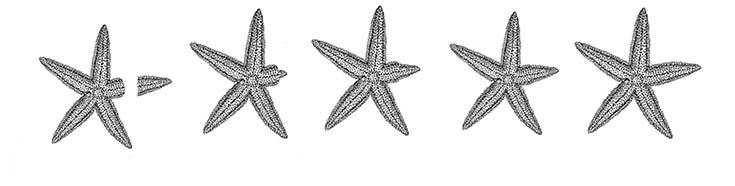 Regeneración del brazo de una estrella de mar.