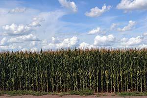 Campo sembrado con maíz en la provincia de Buenos Aires.