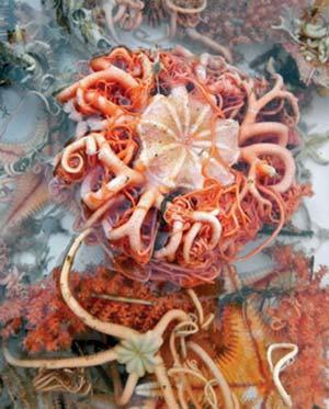 Equinodermos coleccionados en septiembre de 2013 en un viaje de investigación del buque oceanográfico Puerto Deseado. Fueron capturados a 1400m de profundidad en el cañón submarino de Mar del Plata. Foto Martín Brogger