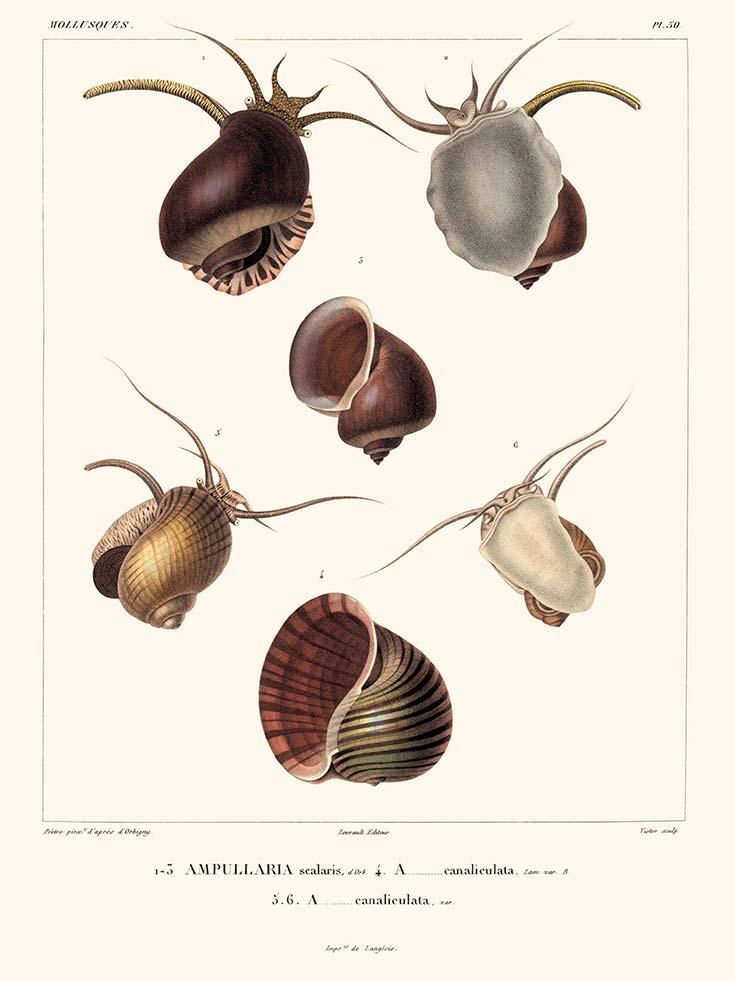 Litografía de ampularias publicada en Voyage dans l'Amérique méridionale (1835), de Alcide D'Orbigny. Gentileza Biblioteca MACN