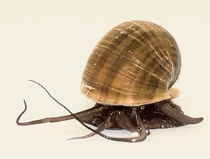 Ampularia o caracol manzana (Pomacea canaliculata). Como todos los caracoles, se apoya sobre el pie que se advierte en la parte inferior. Este caracol particular es anfibio y puede respirar aire gracias a un sifón (que sobresale hacia la derecha)  y una ampolla que oficia de pulmón. Hacia la izquierda se extienden los tentáculos cefálico y labial.