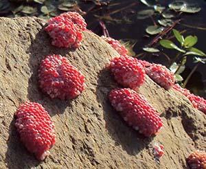 Huevos de ampularia depositados sobre una roca. Cada grupo de huevos mide unos 5cm de largo.