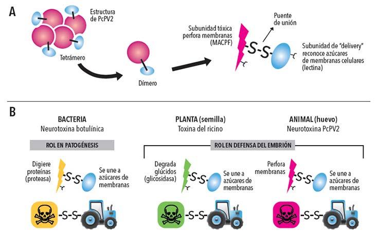 (A) PcPV2 es un tetrámero formado por 4 dímeros, cada uno compuesto a su vez por una subunidad que forma poros en la membrana y una subunidad que une azúcares, ambas unidas por un puente disulfuro. (B) La comparación con otras toxinas sugeriría que la subunidad perforadora sería la tóxica mientras que la lectina oficiaría de vehículo que dirigiría la toxina específicamente hacia ciertas células.