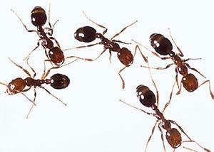 Obreras de hormiga de fuego (Solenopsis geminata). Miden menos de medio centímetro y son los únicos predadores confirmados de los huevos de ampularia.