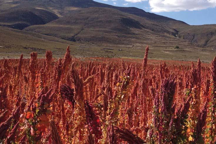 La quinua, un cultivo andino