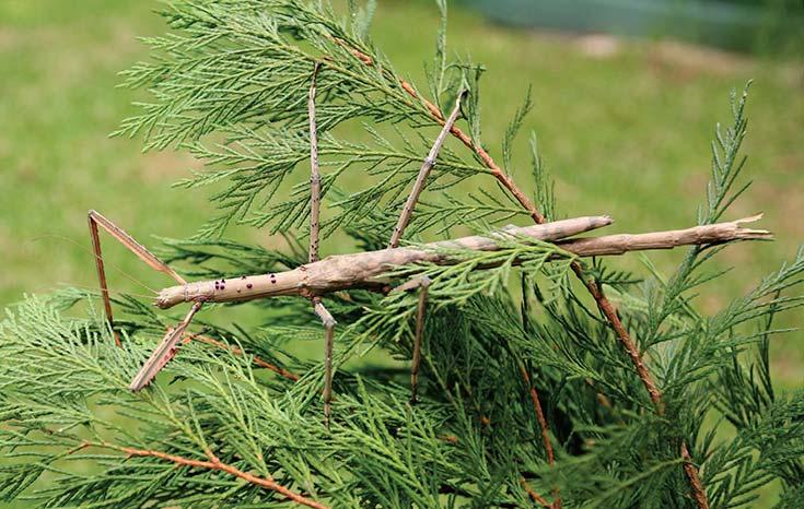 Figura 1. Camuflaje en insectos: el fásmido o bicho palo de la especie Acrophylla titan, natural de Australia, imita una pequeña rama seca.