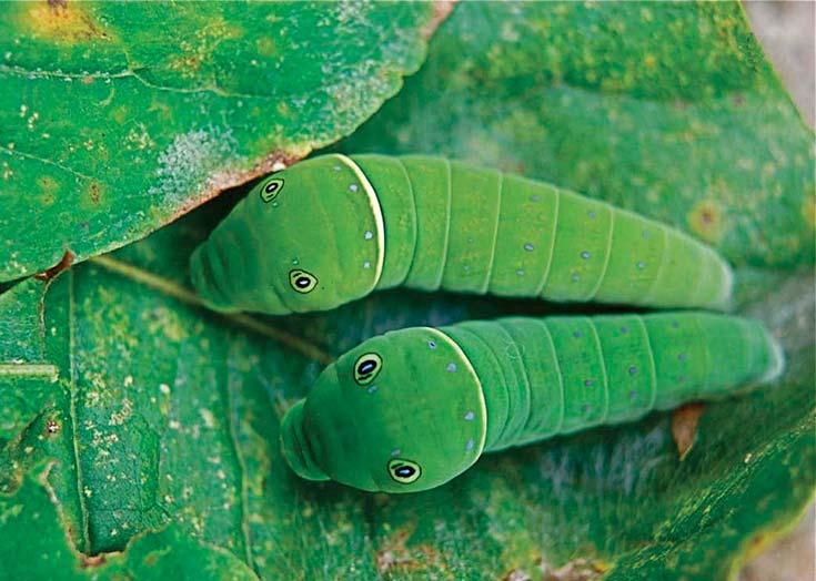 Figura 3. La imitación en dos estados inmaduros de la mariposa Papilio glaucus. Arriba: mimetismo en estado de larva u oruga, con manchas en forma de ojos en el tórax que le confieren aspecto de serpiente. Foto thingsbiological.wordpress.com. Abajo: camuflaje en estado de pupa o crisálida, por el que se asemeja a una rama quebrada. Foto www.ukbutterflies.co.uk