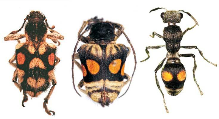 Figura 6. Dos coleópteros, respectivamente de los géneros Trichaptus (gorgojo, a la izquierda) y Compsosoma (bicho taladro, al centro), imitan el patrón de una avispa del género Hoplomutilla (derecha), que produce picaduras muy dolorosas.