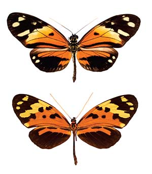 Figura 7. Mimetismo mülleriano en mariposas de la familia Nymphalidae, pertenecientes a especies lejanamente emparentadas pero con patrones de coloración similares en sus alas: Heliconius numata (arriba) y Melinaea mneme (abajo).