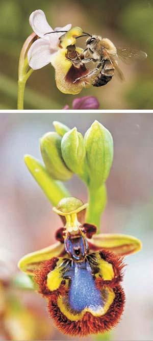 Figura 8. Ejemplo de coevolución. En las orquídeas abeja, las flores se asemejan al abdomen de las hembras de las abejas que las polinizan. La foto de la izquierda muestra el macho de una abeja polinizando la orquídea Ophrys apifera; la de la derecha, una especie de orquídea (Ophrys speculum) con flores azuladas que remedan el reflejo del cielo en las alas de las abejas polinizadoras.