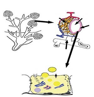 Esquema de la estructura interna de la glándula mamaria. Panel A: los alveolos mamarios se agrupan formando lóbulos. El conducto excretor conduce la leche hasta la cisterna de la glándula y ahí al exterior a través del pezón. Panel B: alveolo mamario, (a) células epiteliales; (b) células mioepiteliales; (c) lumen alveolar; (d) cisterna glandular. Panel C: síntesis de la leche dentro de las células epiteliales: (1) síntesis de proteínas en el retículo endoplásmico rugoso, empaquetamiento en el aparato de Golgi y excreción al lumen alveolar; (2) síntesis de ácidos grasos en el citoplasma o incorporación de la sangre, secreción como gotas lipídicas envueltas por la membrana citoplasmática. Algunos componentes como sodio, potasio y agua son secretados directamente por la membrana apical; (3) por transitosis se secretan proteínas como la inmunoglobulina A (4). En cambio, otros componentes de mayor tamaño llegan al lumen alveolar directamente por transporte paracelular (5). Este mecanismo funciona únicamente al inicio de la lactancia para secretar al lumen alveolar grandes cantidades de inmunoglobulinas. Adaptado de Schmidt GH, 1971, Biología de la lactancia, Acribia, Buenos Aires, y de Neville MC, 2006, 'Lactation and its hormonal control', en Physiology of Reproduction, Knobil and Neils, Elsevier.
