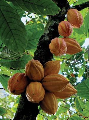 Planta de cacao con frutos. Cada una de las habas mide unos 20cm e incluye algunas docenas de semillas contenidas en una pulpa blanquecina, con las que se hace el chocolate. Las semillas contienen aproximadamente un 50% de aceite o grasa, llamada manteca de cacao, y teobromina, un compuesto similar a la cafeína. Wikipedia Commons