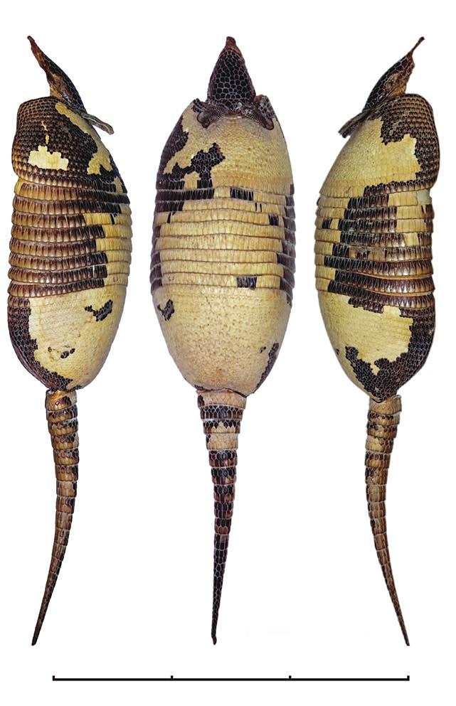 Tres vistas de uno de los ejemplares de la mulita de Mazza (Dasypus mazzai) catalogado como MACN-Ma 31.273 en el Museo Argentino de Ciencias Naturales Bernardino Rivadavia. La barra que da la escala representa 30cm.