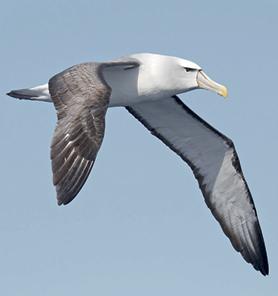 Albatros errante (Diomedea exulans )