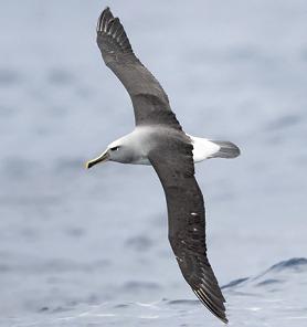 Albatros de Buller (Thalassarche bulleri )