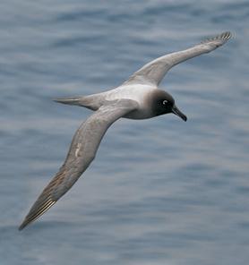 Albatros de manto claro (Phoebetria palpebrata)