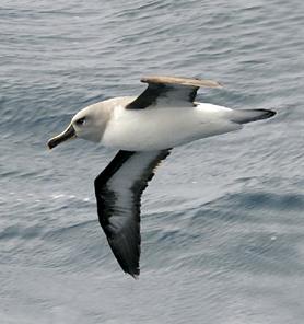 Albatros de cabeza gris (Thalassarche chrysostoma )