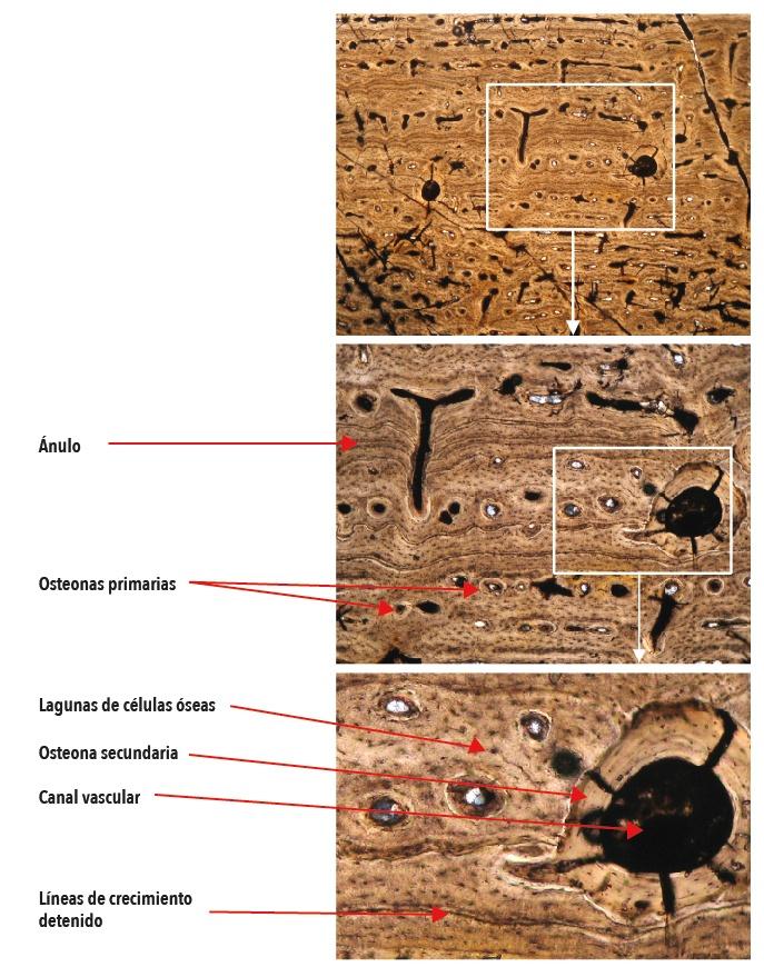 Figura 3. Corte de un hueso fosilizado