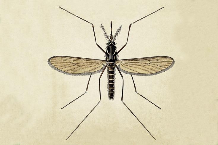 Aedes_Aegypti