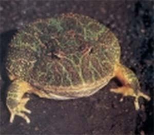 Bufo arenarum, habitante de lagunas permanentes, y el muy conocido escuerzo (ceratophrys ornata), especie voraz y agresiva