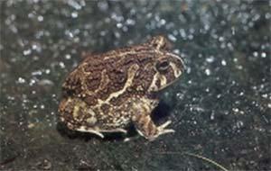 Odontophrynus americanus, también conocido como escuercito. Durane buena parte del año permanece oculto. Al llegar las grandes lluvias abandona los refugios en busca de alimento.