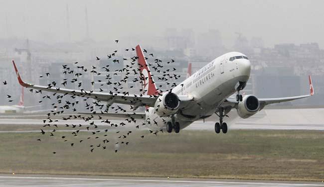 Bandada de estorninos (Sturnus vulgaris) volando en un aeropuerto europeo en el momento en que despega un Boeing 737-900 de Turkish Airlines.