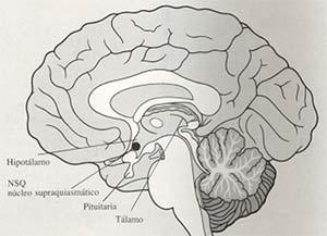 Figura 1: Localización en el encélalo de las principales estructuras anatómicas relacionadas con el estudio de los relojes y calendarios biológicos
