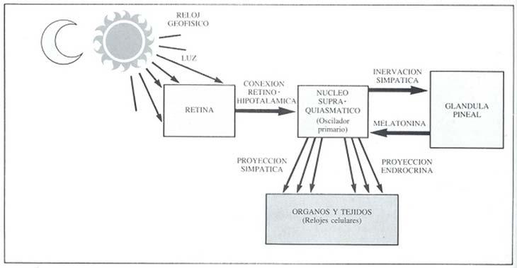 Fig. 5: La iluminación ambiental rige el ritmo de secreción de la melatonina a través de una vía multisináptica que tiene su origen en la retina y la vincula con el núcleo supraquiasmático, cuya actividad oscilatoria, en virtud de la información así recibida, tiene una sincronización de 24 horas. La melatonina controla la actividad oscilatoria del núcleo supraquiasmático y éste controla, a su vez, la secreción de melatonina en la glándula pineal. El núcleo supraquiasmático, por sus proyecciones hacia las zonas de centros simpáticos y endócrinos, armoniza la anarquía de los osciladores primarios celulares y la ajusta a las variaciones del reloj geofísico.