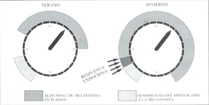 fig. 6: El ritmo anual de la respuesta gonadal está dado en la superposición de dos rimos circadianos: el de alto nivel de melatonina en plasma y el de la sensibilidad hipotaláica a dicha hormona. El caso presentado corresponde a un apareador de días cortos, como la oveja