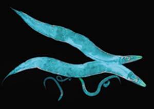 Dos gusanos adultos (miden aproximadamente 1mm), tres juveniles y un huevo magnificados unas 120 veces por microscopia de fluorescencia. Fotografía Biochemical Society UK