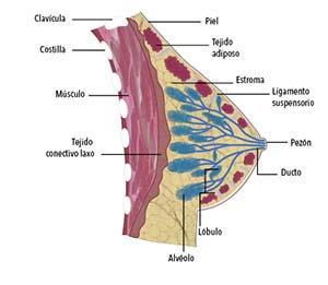 Corte de una glándula mamaria. Se aprecia la estructura ramificada formada por los ductos que convergen en el pezón y llevan la leche desde los alvéolos, donde se produce. Los racimos de alvéolos y ductos se llaman lóbulos, los que conforman con los ductos troncales las unidades ducto-lobulares. Estas estructuras están inmersas en una almohadilla de grasa, indicada con el rótulo de tejido adiposo, y sostenidas por un tejido de soporte llamado estroma