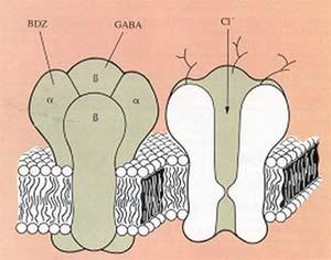 Modelo del complejo receptor GABA/BDZ/ canal de Cl- en la membrana celular de neuronas. Los sitios de reconocimiento para BDZ (receptor BDZ) se hallan ubicados en la subunidad a, mientras que aquellas para el neurotransmisor GABA en la subunidad ß.