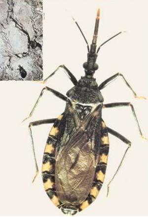 Triatoma infestans, especie transmisora de la enfermedad de Chagas más en la habitación humana en la Argentina y en varios países sudamericanos. Los adultos son insectos alados de vuelo corto y pesado, que pueden llegar a medir 3 cm de longitud. Arriba: típica pared de adobe que alberga vinchucas entre sus grietas y huecos.