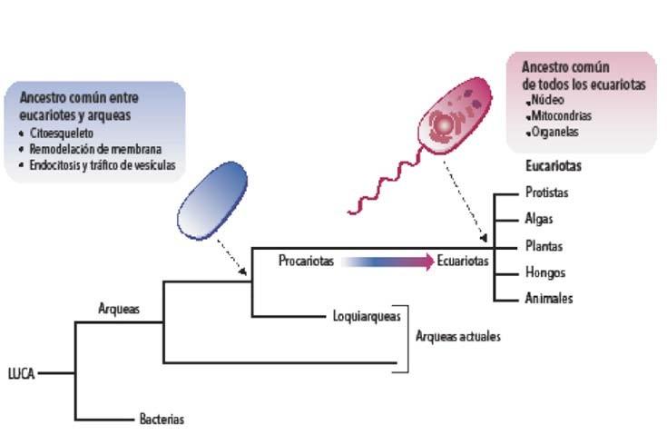 El-origen-evolutivo-de-las-células-eucariotas