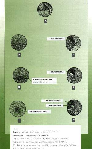 Fíg. 4. Esquema de los distintos estadios del desarrollo embrionario temprano de los anfibios