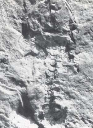 """Restos fósiles de la """"rana mas antigua del mundo"""", depositados en el Museo de La Plata. El tamaño natural es de unos 2 cm."""