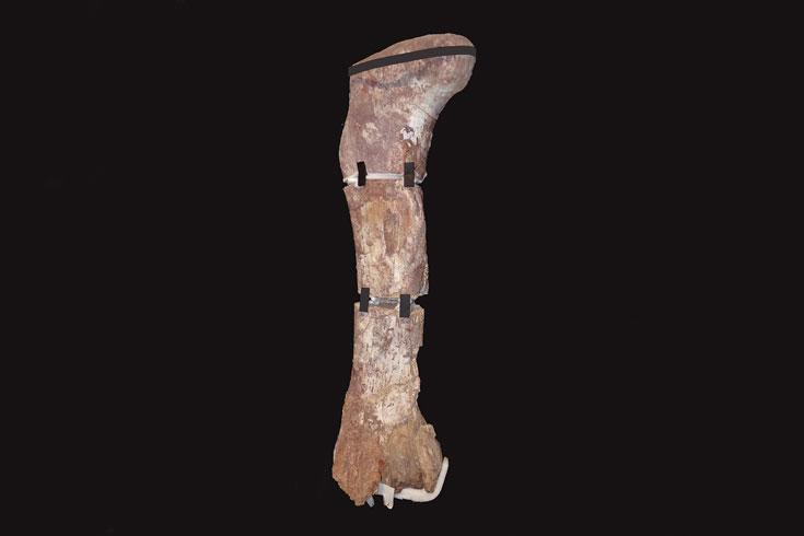 Fémur-de-titanosaurio