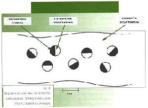 Fig.-3. Esquema de una tira de ovocitos liberados del ovario